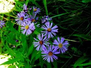 periwinkle wild flowers_edited-1